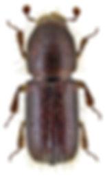 dryocoetes_villosus_1.jpg