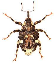 Hadroplontus trimaculatus 1.jpg