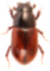 Planolinus fasciatus 1.jpg