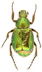 Gnorimus nobilis 1.jpg