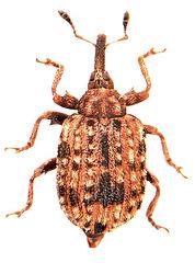 Cleopus pulchellus.jpg