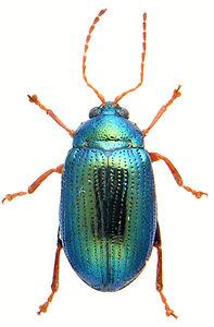 Crepidodera aurea 1.jpg