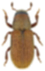 kissophagus_vicinus_1.jpg