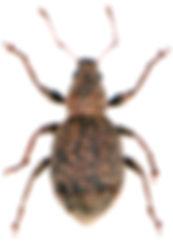Sciaphilus asperatus 1.jpg
