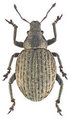 Attactagenus plumbeus.jpg