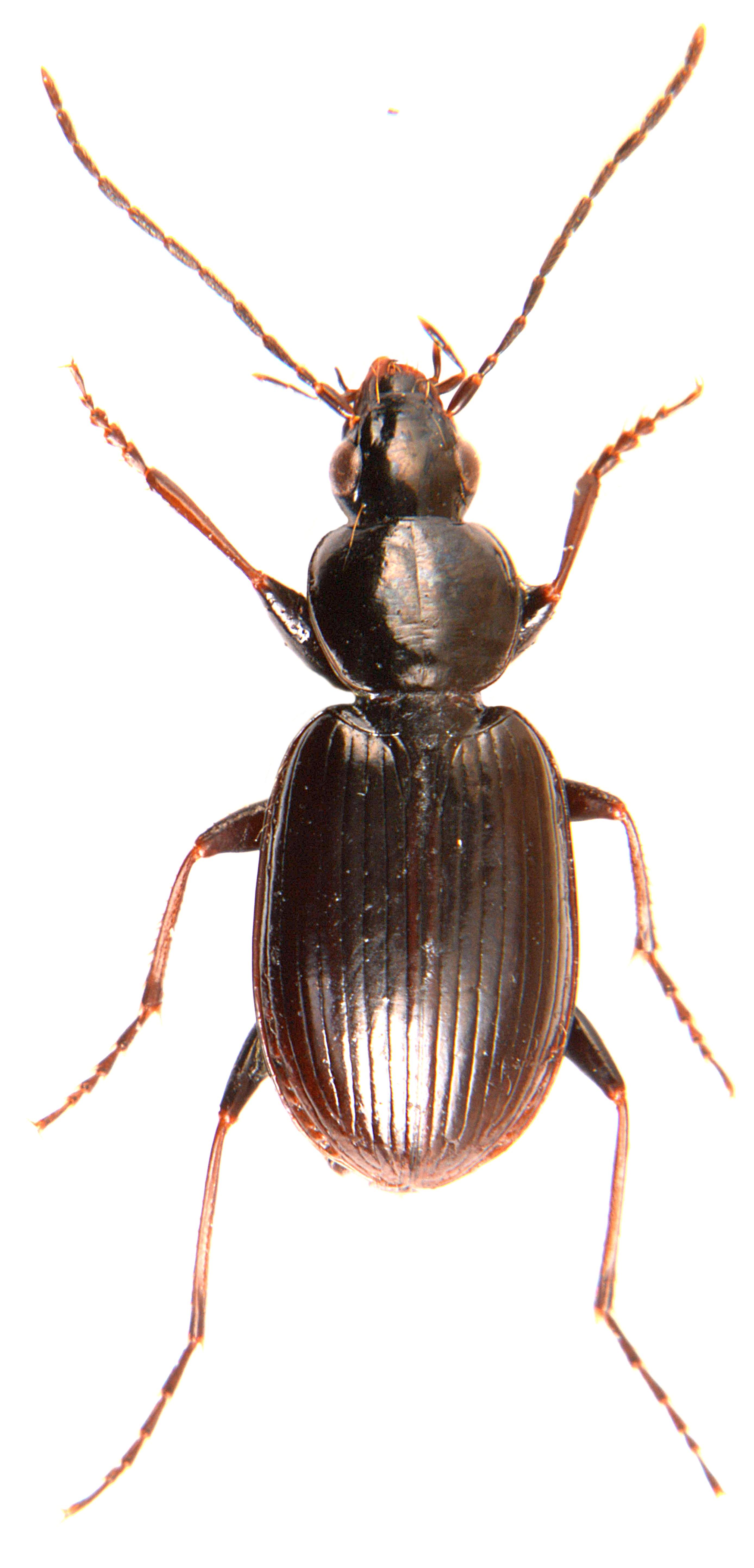 Agonum fuliginosum 1
