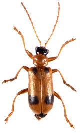 Phyllobrotica quadrimaculata 2.jpg