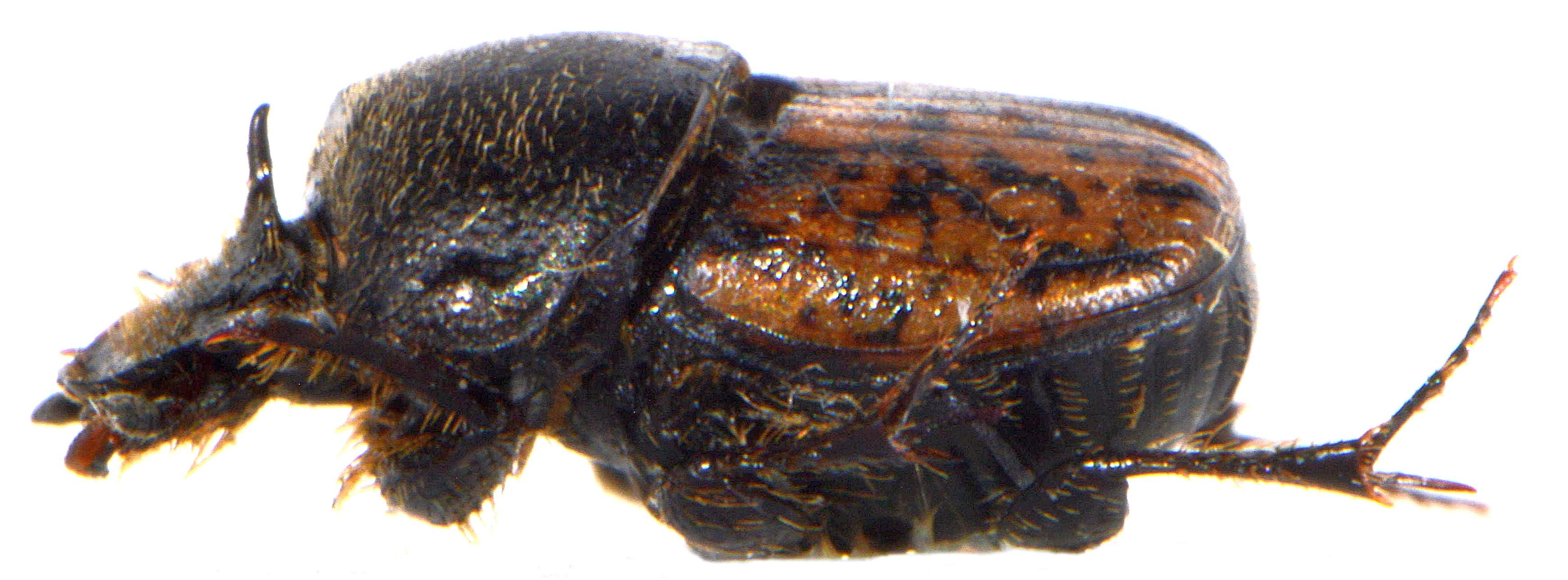Onthophagus nuchicornis 3