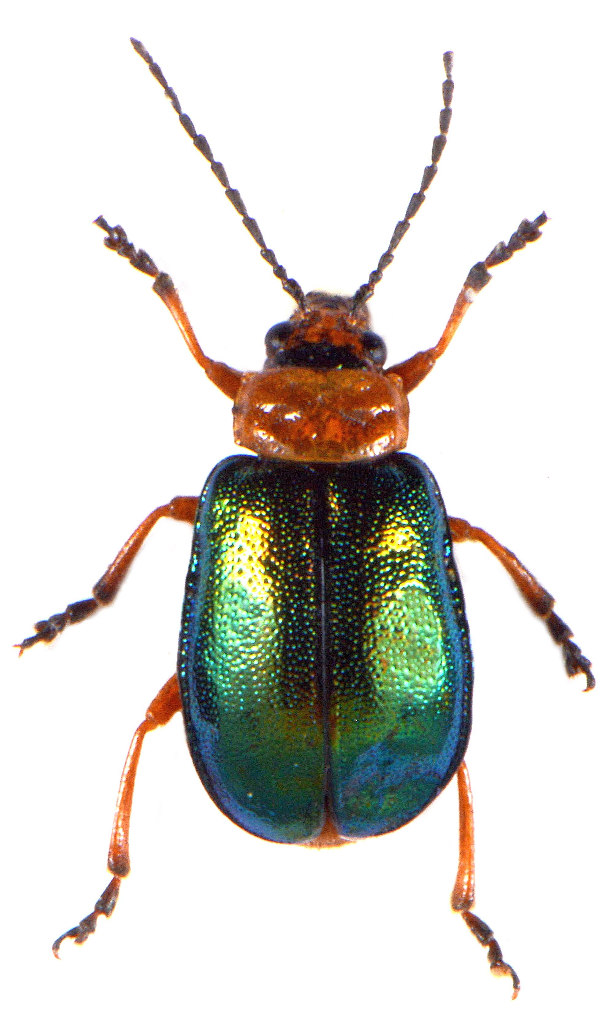 Sermylassa halensis 1
