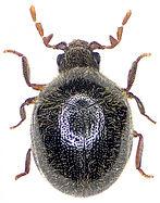 Caenocara affine.jpg