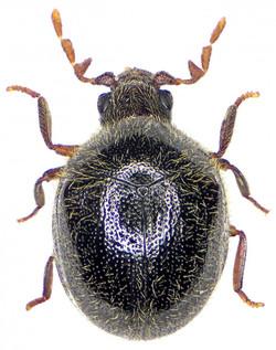 Caenocara affinis