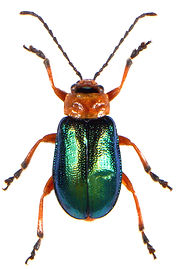 Sermylassa halensis 3.jpg