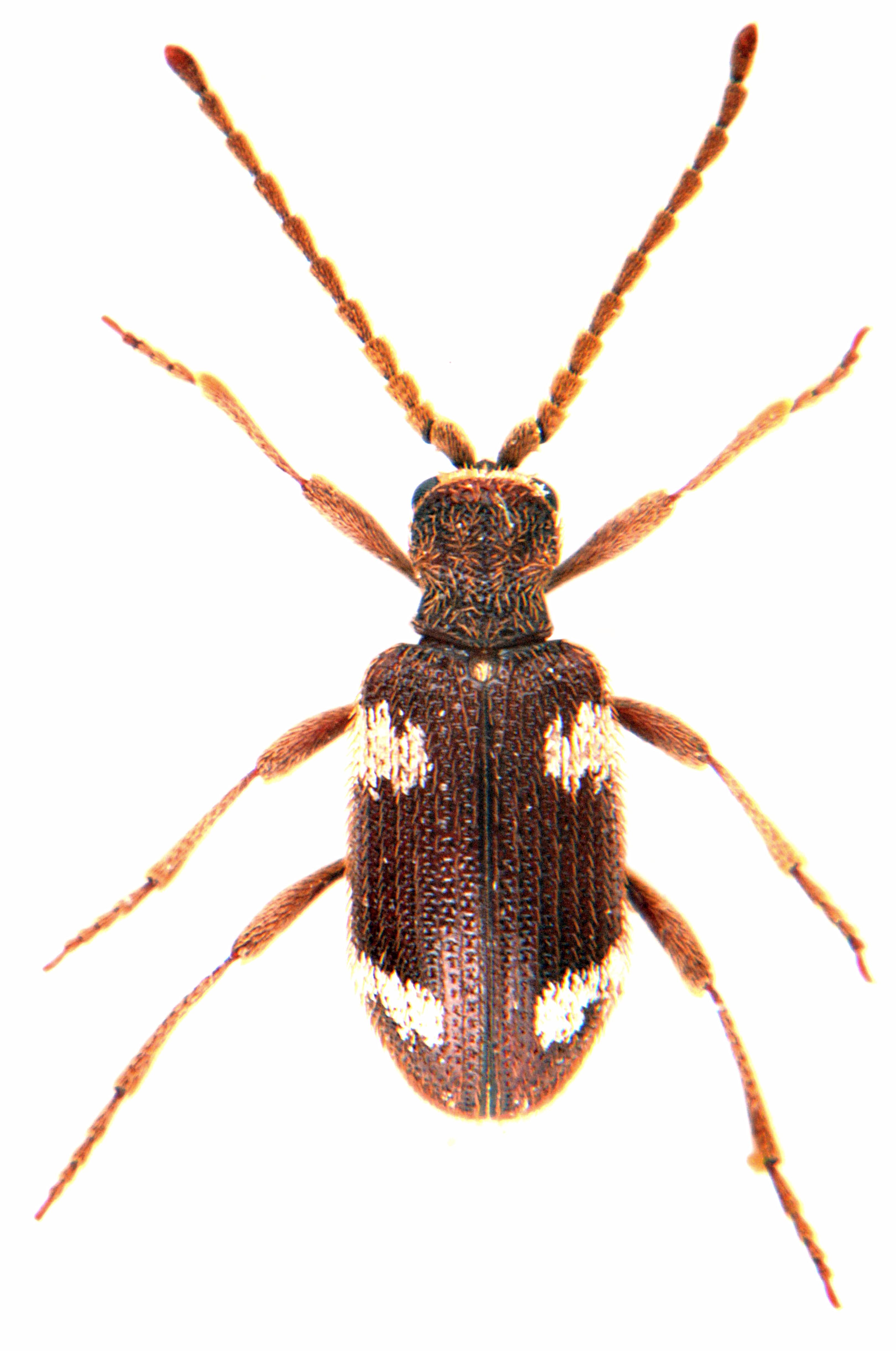 Ptinus sexpunctatus 3
