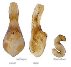 Nehemitropia lividipennis dissections