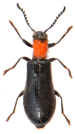 Tillus elongatus