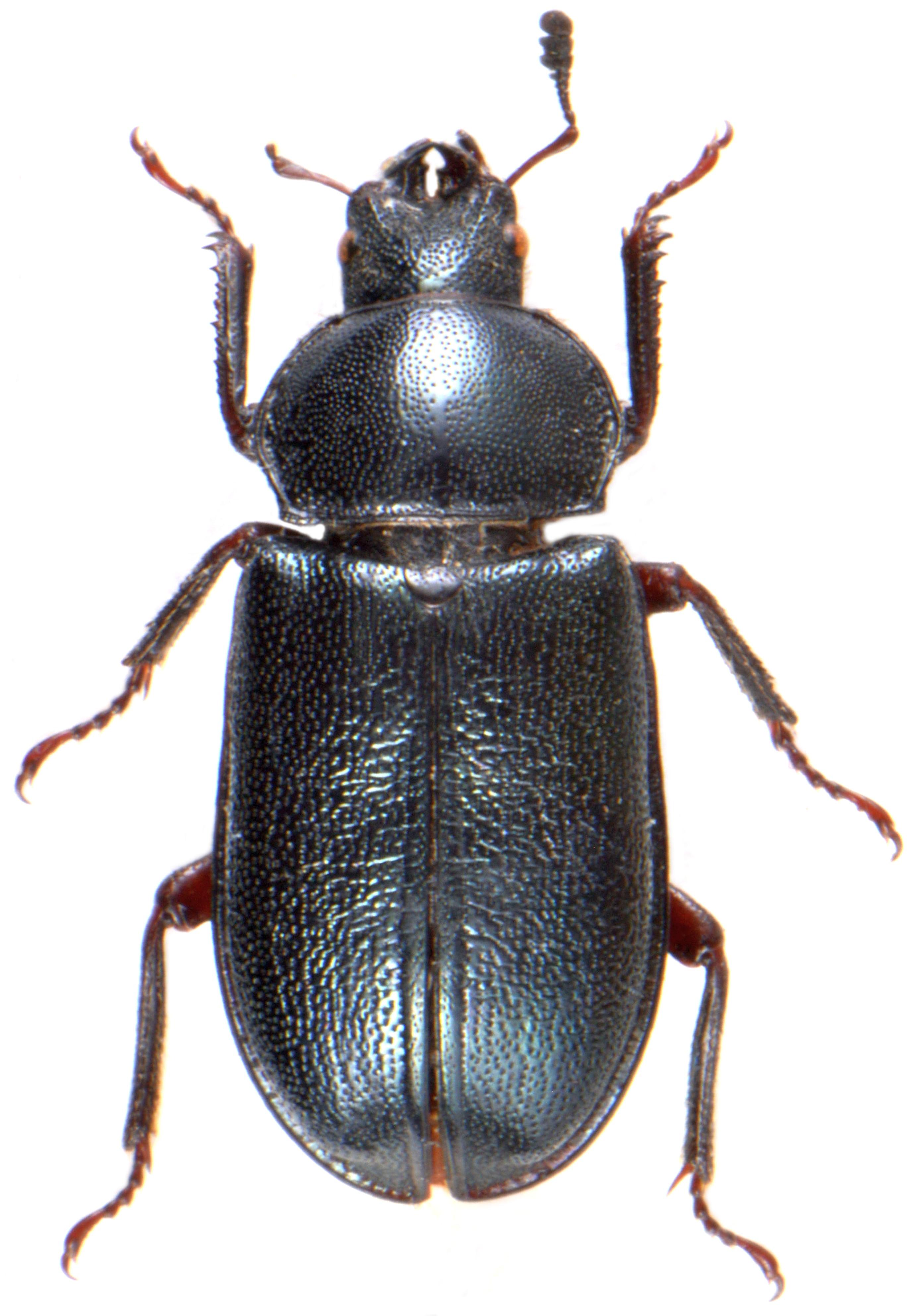Platycerus caraboides ♀