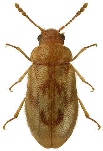 Phloiophilus edwardsii