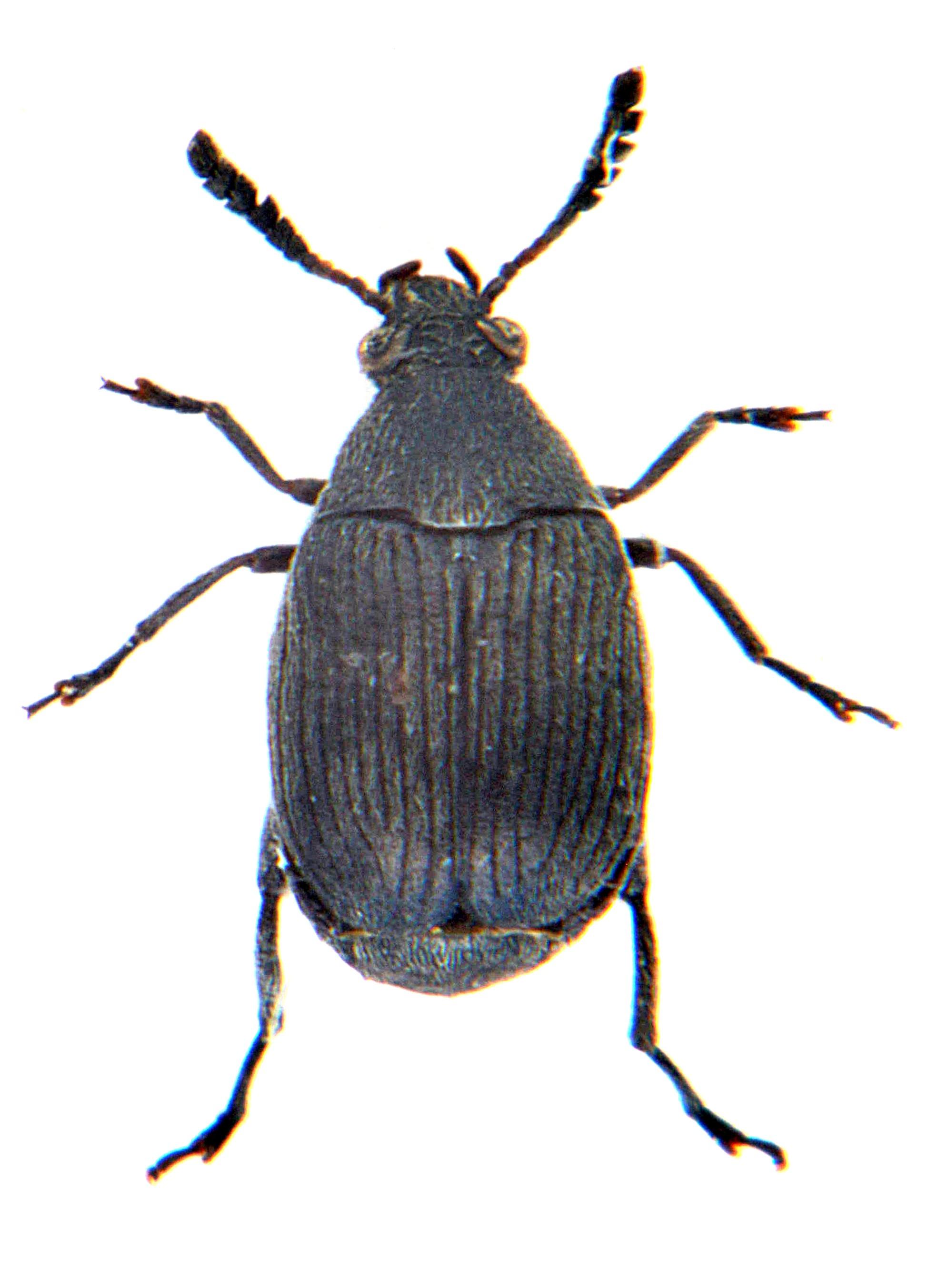 Bruchidius villosus 1