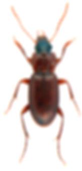 Platyderus depressus.jpg