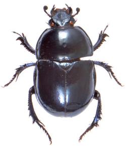 Trypocopris pyrenaeus 1