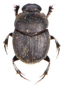 Onthophagus joannae 1.jpg