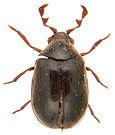 Dorcatoma dresdensis 1a.jpg