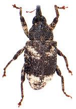 Cryptorhynchus lapathi 1a.jpg