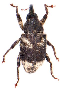 Cryptorhynchus lapathi