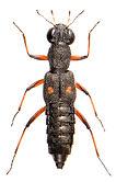 Stenus bimaculatus 3.jpg