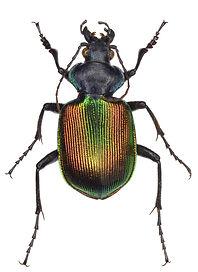 Calosoma sycophanta 1.jpg