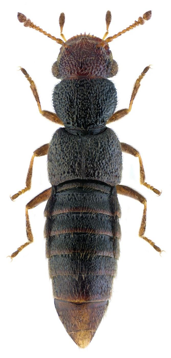 Euaesthetus bipunctatus