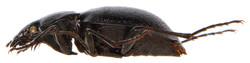 Carabus convexus