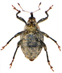 Parathelcus pollinarius 6