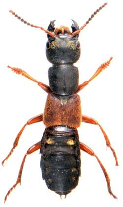 Staphylinus erythropterus 1