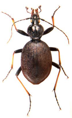 Cychrus attenuatus