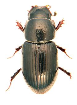 Liothorax niger 1