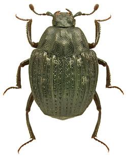 Onthophilus punctatus