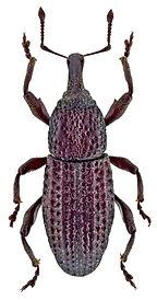 Mitoplinthus caliginosus.jpg