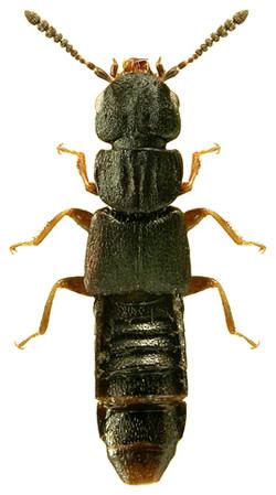 Anotylus tetracarinatus 1