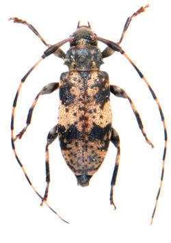 Leiopus nebulosus 1
