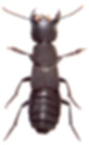 Ocypus olens 1.jpg