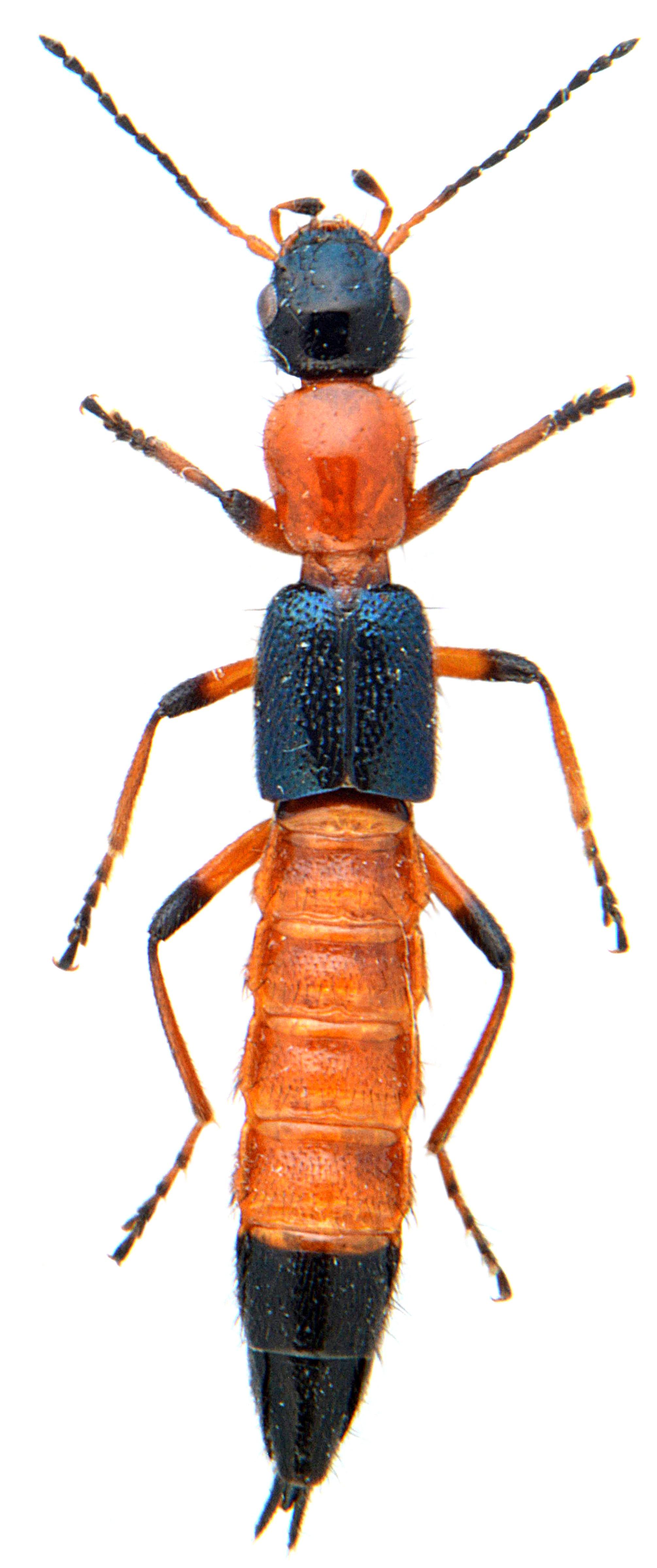 Paederus riparius