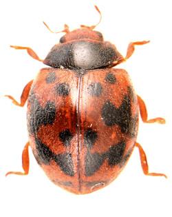 Subcoccinella vigintiquatuorpunctata 4