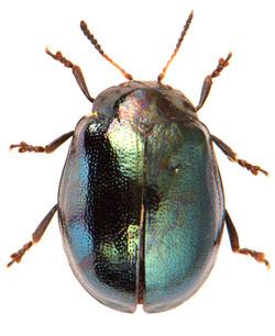 Plagiodera versicolora 1