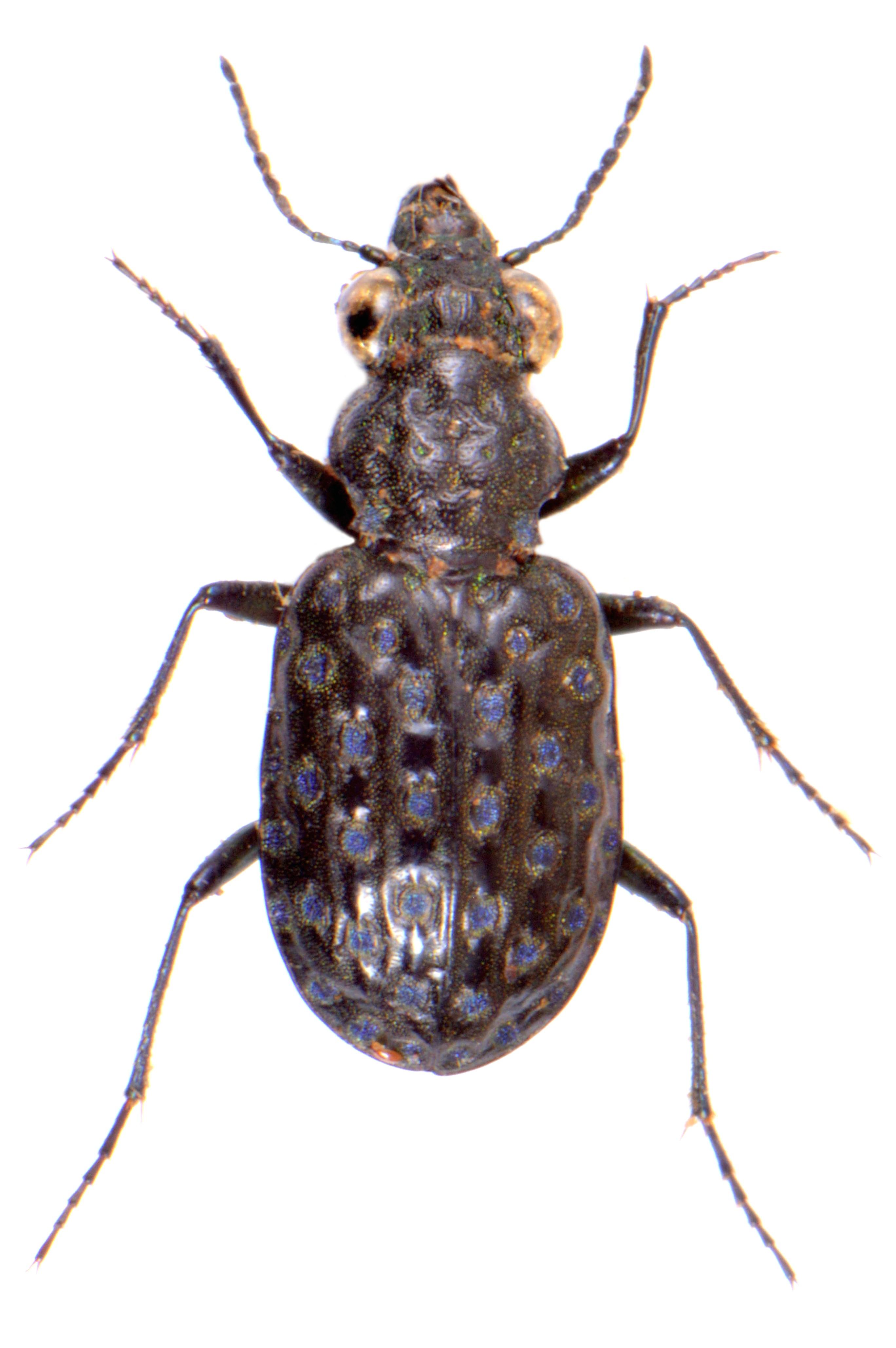 Elaphrus uliginosus 1