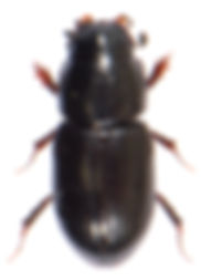 Liothorax niger 1.jpg