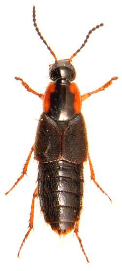 Philonthus marginatus 3