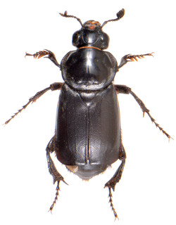 Nicrophorus germanicus 1