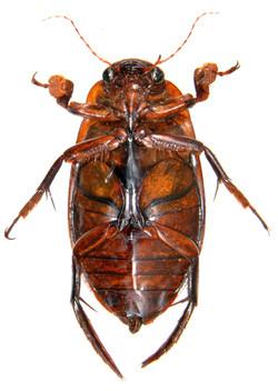 Dytiscus marginalis underside