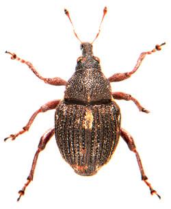 Rhinoncus pericarpius 3